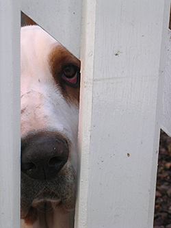 Photo of dog behind fence